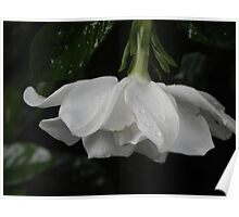 Little Rain on White Flower Poster