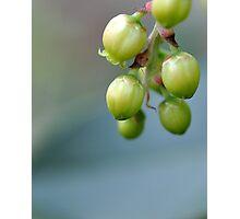 Tiny Green Tree Pods Photographic Print