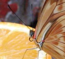 The Lemon Butterfly Sticker