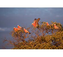 Gallah Tree Photographic Print
