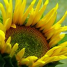 Sunflowers 2011 by Jellybean720