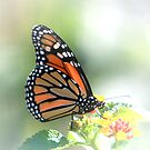 Monarch Bathed in Light by Lisa G. Putman