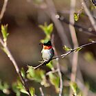 Ruby-throated Hummingbird (Male) by Kathleen Daley