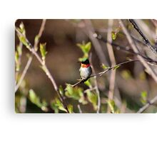 Ruby-throated Hummingbird (Male) Canvas Print