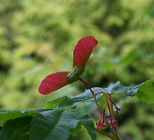 Maple Seeds by nelsonthad