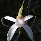 white spider orchid by Rick Playle