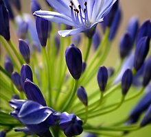 Agapanthus by Terry Marter