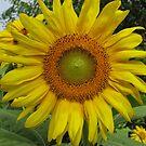 sunflower09 by Stormoak Lonewind