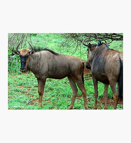 THE UGLY AND BEAUTIFUL BLUE WILDEBEEST (Connochaetes taurinus) Photographic Print