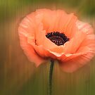 Soft Pink Poppy by LudaNayvelt