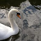 Scottish swan by Kirstyshots