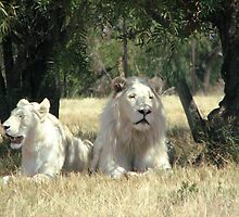 White lions  by Leoni South