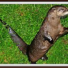 """"""" Otters, making a come back"""" by Malcolm Chant"""