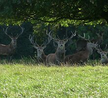 Chatsworth stags by donnielime