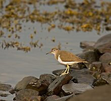 Common Sandpiper by Jon Lees