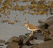 Common Sandpiper by Jon Lees