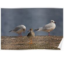 Redshank - a rose between two thorns Poster