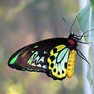 Cairns Birdwing Butterfly by Robert Jenner