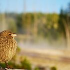Juvenile Brown-Headed Cowbird by Jennifer Suttle