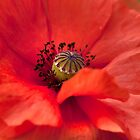 A Red Poppy by Susan Dost