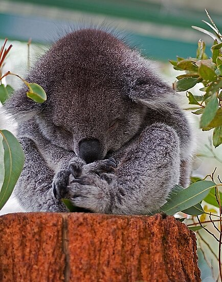 'Koala Sleeping'....... by Gordon Pressley