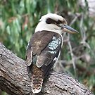 kookaburra by Rick Playle