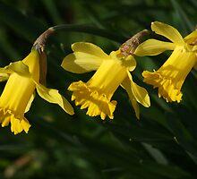 Daffodils all in a Row by Pamela Jayne Smith