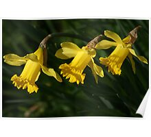 Daffodils all in a Row Poster