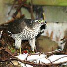 Sparrowhawk by dsargent