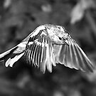 Monochrome Chaffinch by dsargent