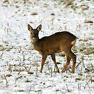 Roe Deer by dsargent