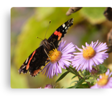 The Red Admiral 2 Canvas Print