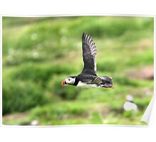 Puffin 04 Poster