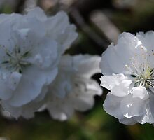 Flowering Peach Blossom by Ron Hannah
