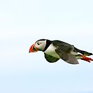 Puffin 06 by dsargent