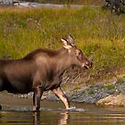 Moose Crossing by Gary Lengyel