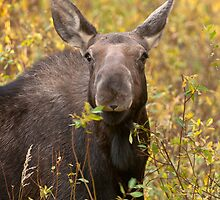 Moose Calf by Gary Lengyel