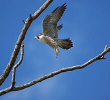 Peregrine Falcon  by kathy s gillentine