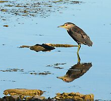 Black Crowned Night Heron by Lynda  McDonald