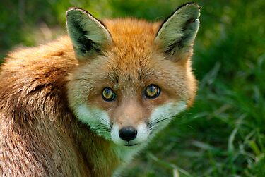 Red fox by evilcat