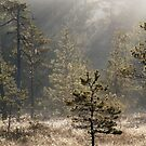 26.5.2015: Pine Tree, May Morning by Petri Volanen