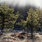 26.5.2015: Pine Trees, May Morning by Petri Volanen