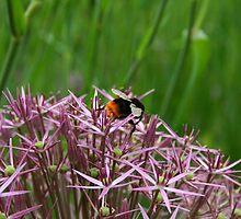 English Bumble Bee 1 by Susan Gallus