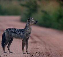 Side-Striped Jackal Pose by Jared Bloom