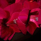 Gladioli.... by Patriciakb