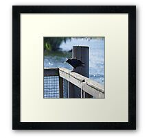 Crow Catches Salmon Framed Print
