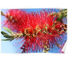 Australian Bottle Brush Poster