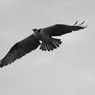 Osprey flight by kathy s gillentine