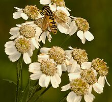 hoverfly on flower by GTiRBri