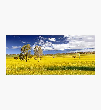 Canola Field In Spring  Photographic Print